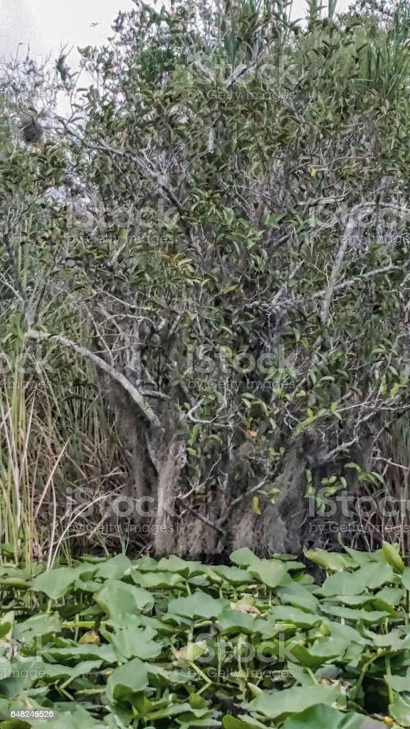 Everglades - Florida - Lily Pads stock photo