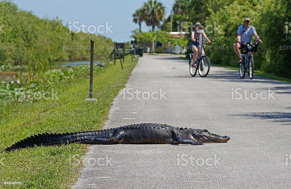 Everglades National Park Florida, Tourist Cycling Past Alligator stock photo