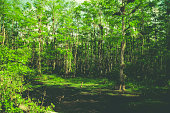 Everglades swamp greenery landscape background