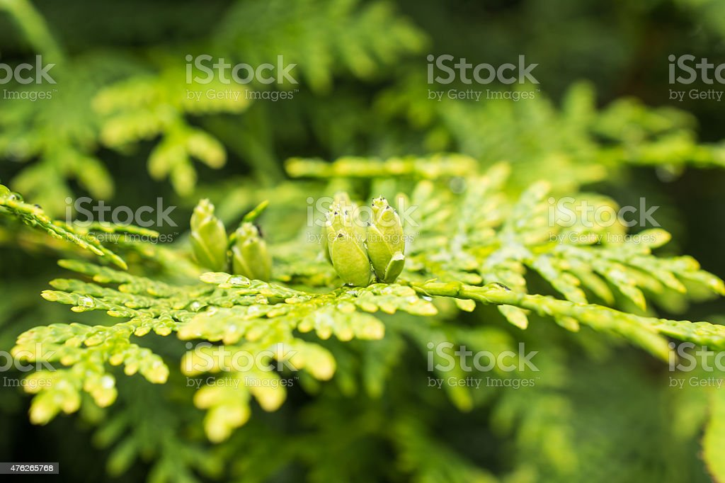 Evergreen branch of a thuja with buds stock photo