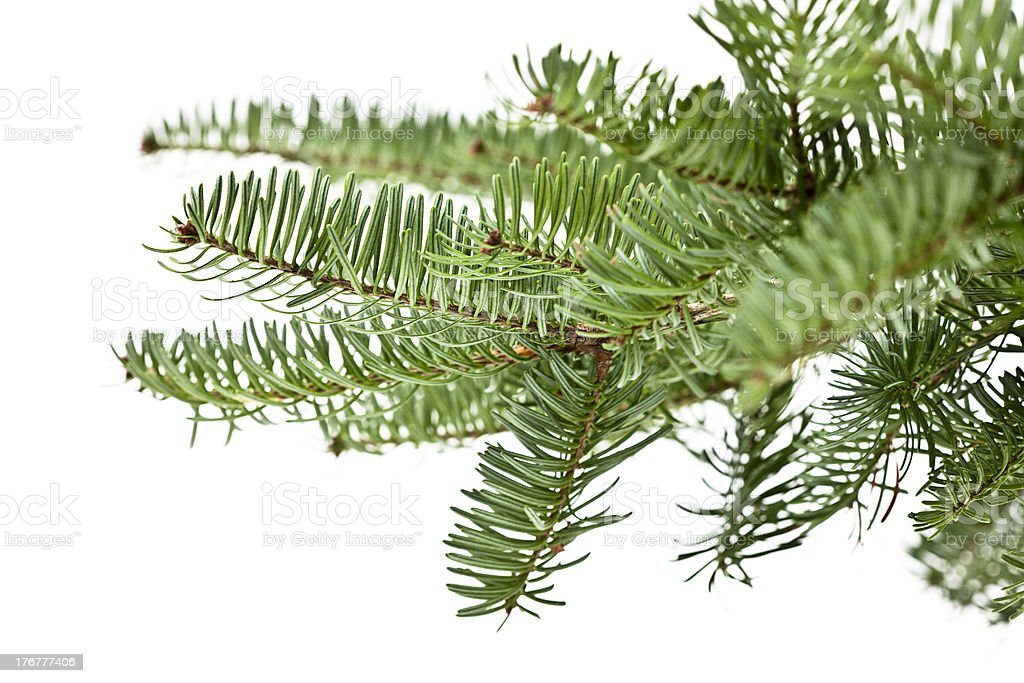 Evergreen Branch royalty-free stock photo