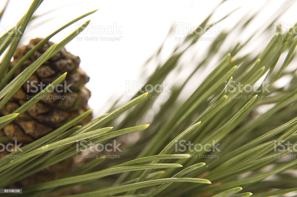 evergreen branch with cone royalty-free stock photo
