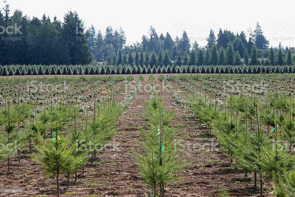Evergreen Christmas Tree Farm royalty-free stock photo