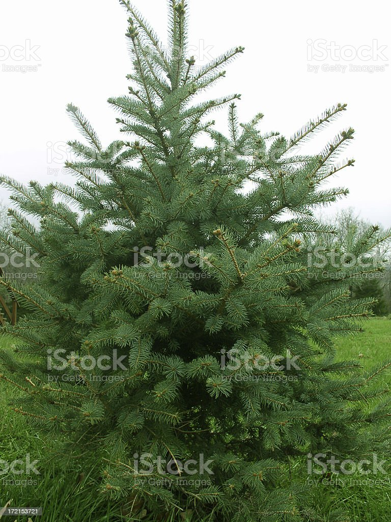 Evergreen Christmas Tree stock photo