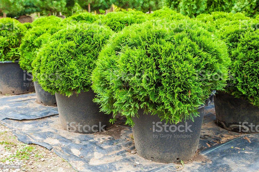 Evergreen cypresses plants on tree farm stock photo
