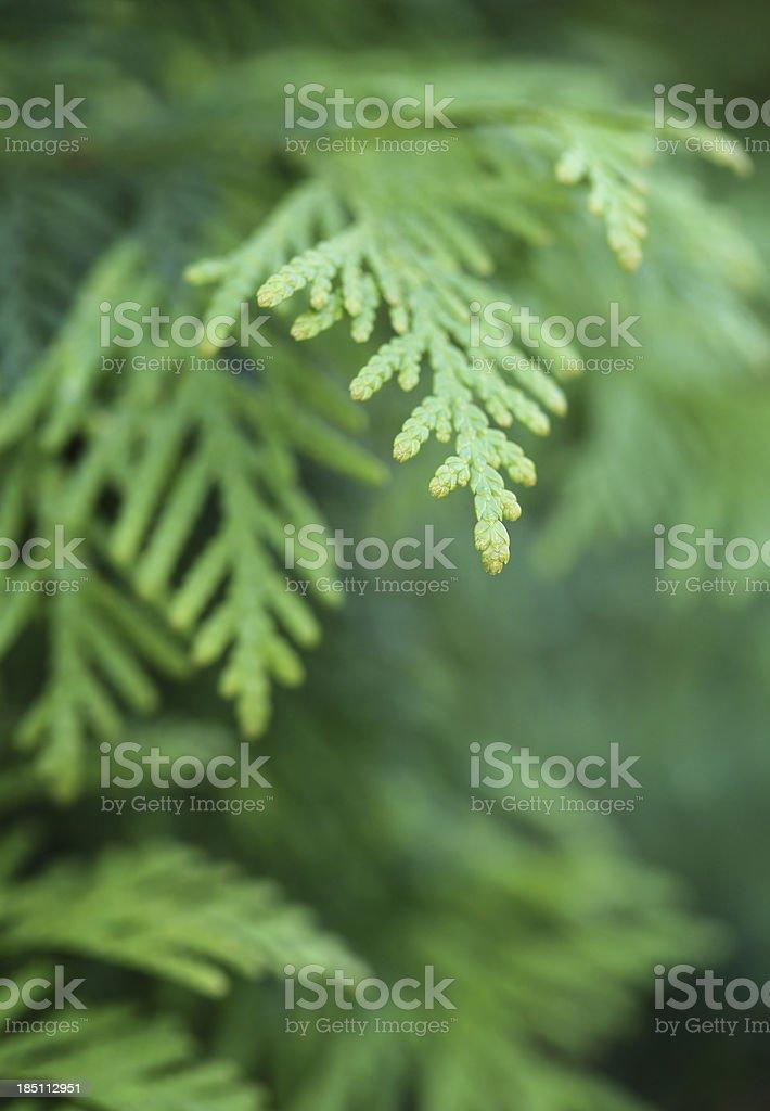 Evergreen Foliage royalty-free stock photo