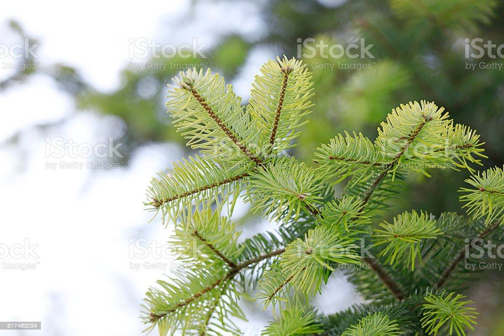 Evergreen Foliage stock photo