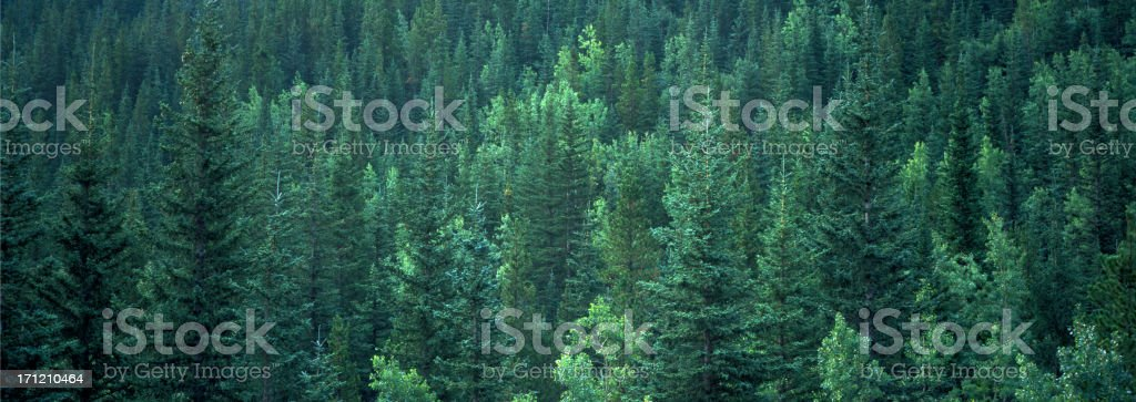 Evergreen Forest Background banner stock photo