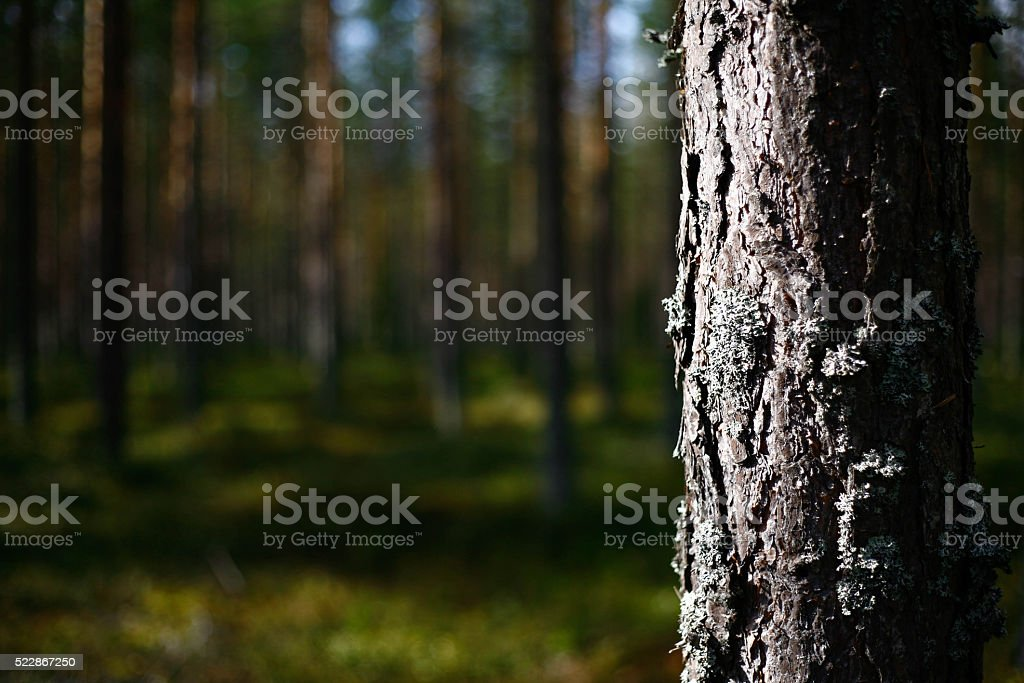 Evergreen forest in Northern Finland stock photo