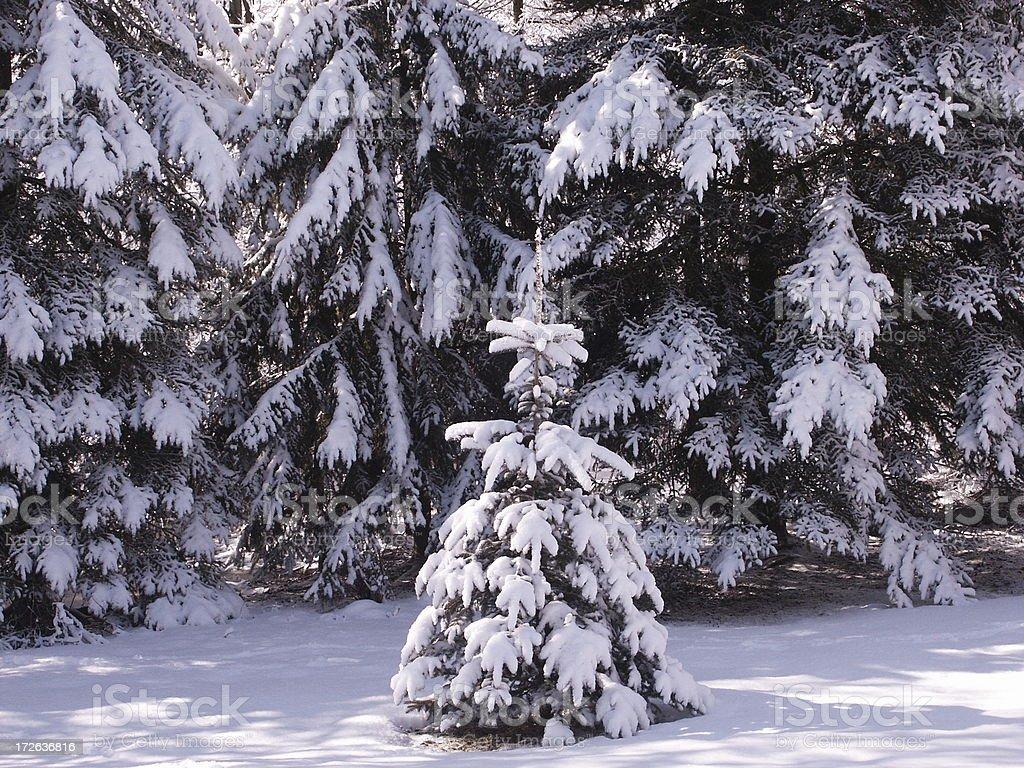 Evergreen in Winter Landscape stock photo