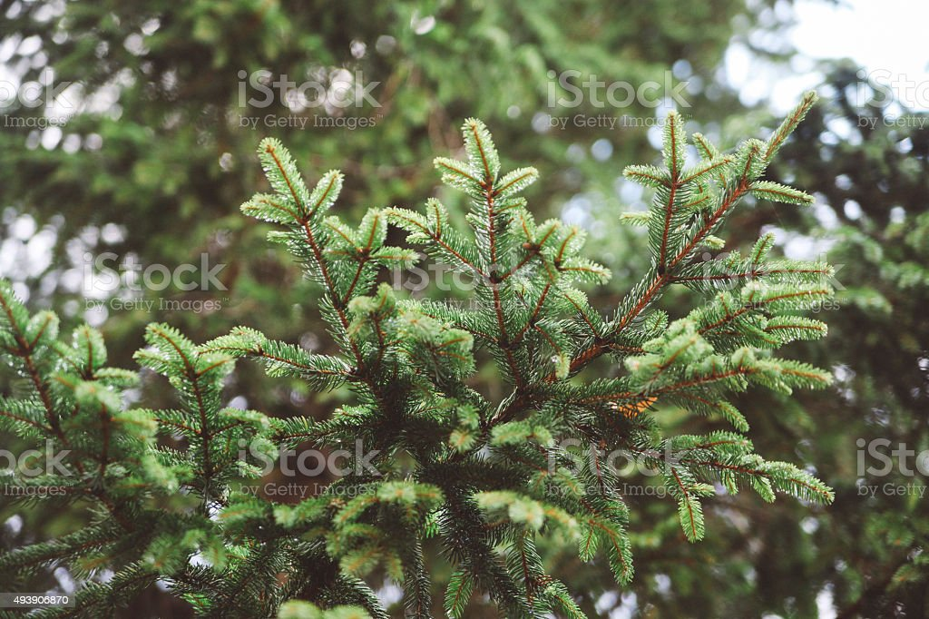 Evergreen macro stock photo