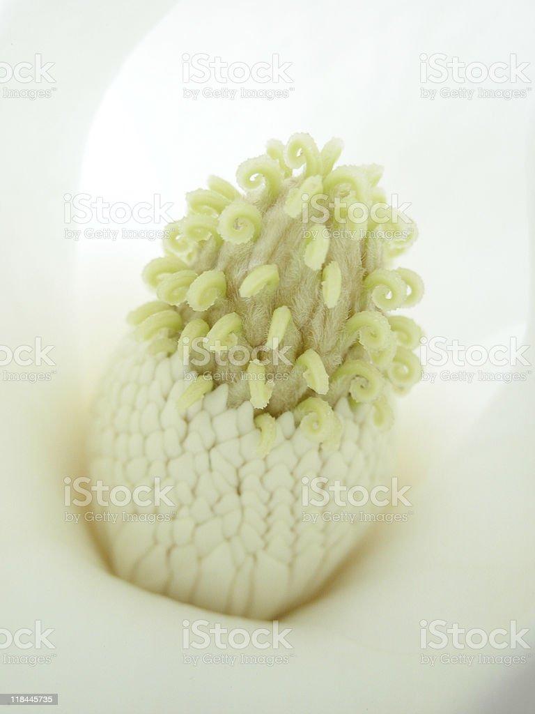 Evergreen magnolia royalty-free stock photo