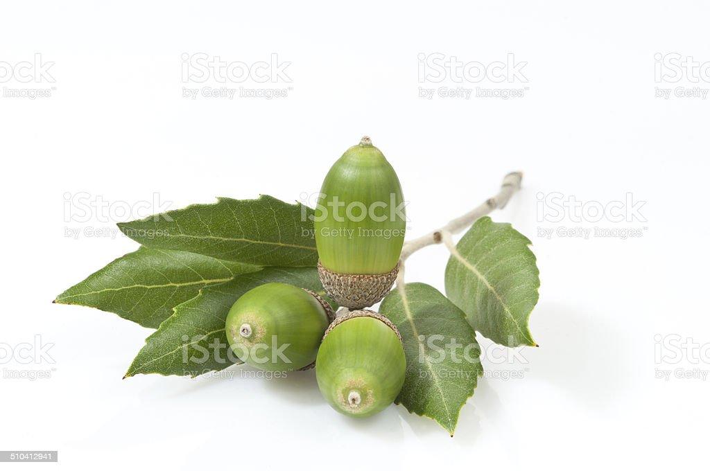 evergreen oak leaves and three green acorns stock photo