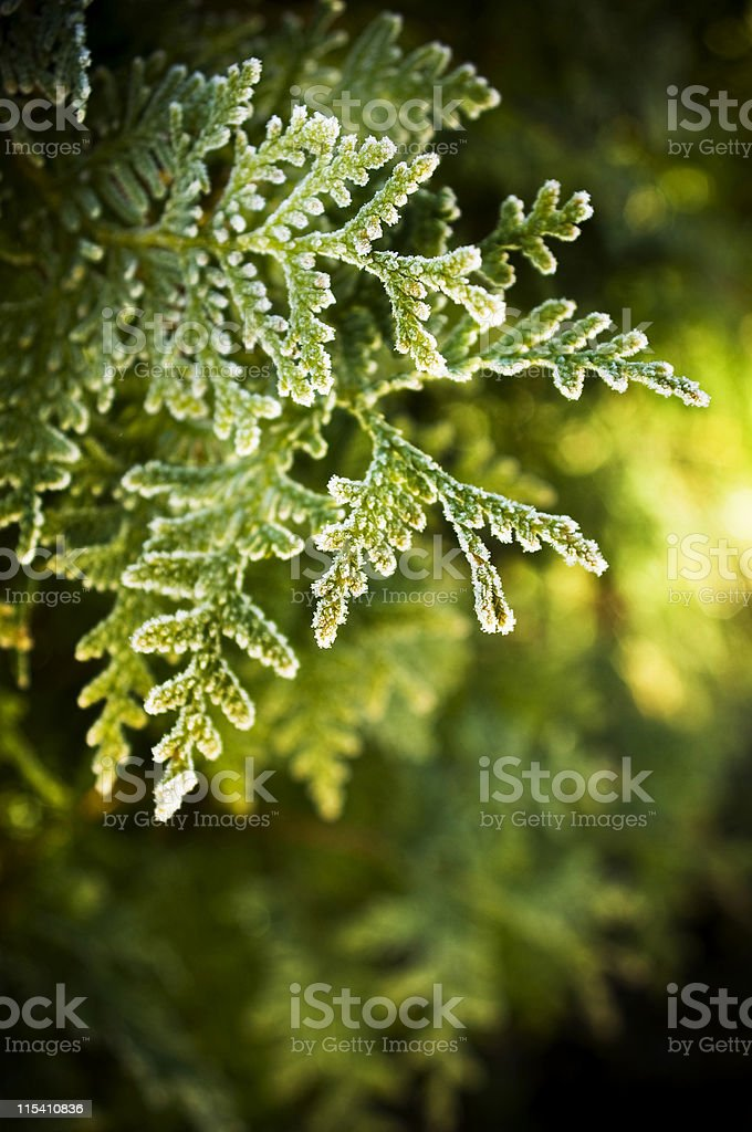evergreen royalty-free stock photo