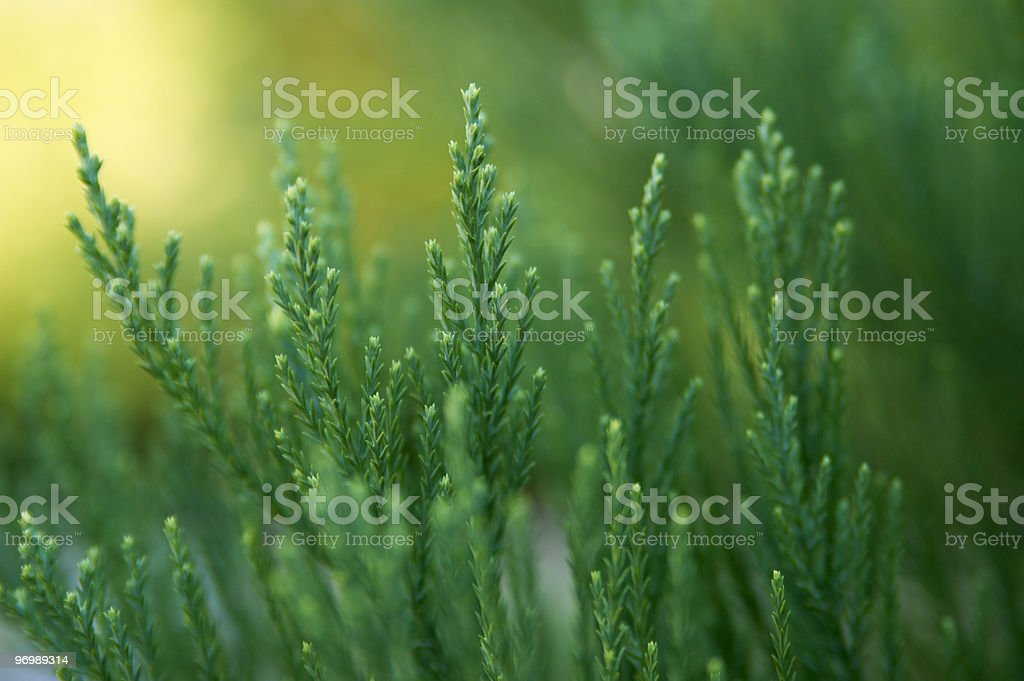 Evergreen stock photo