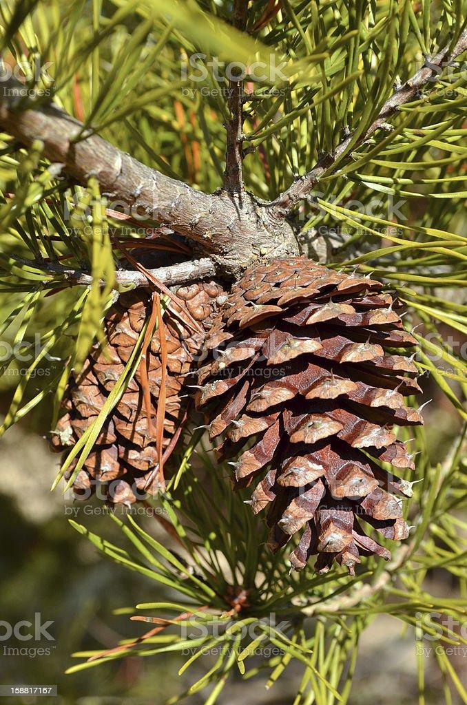 Evergreen Pine Cone stock photo