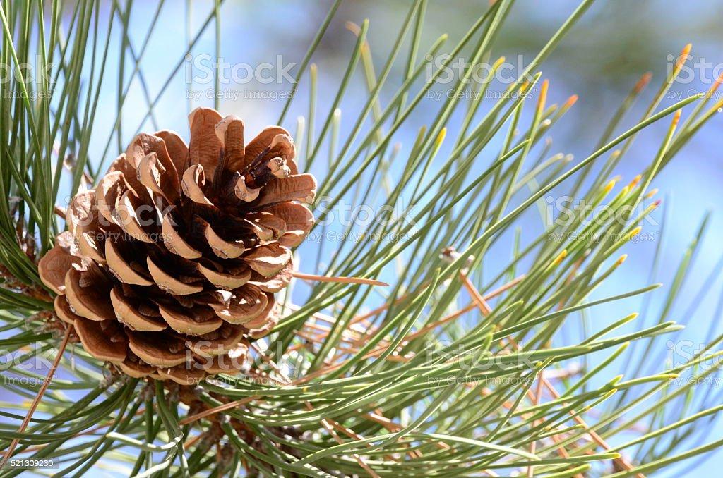Evergreen pine tree cones conifers nuts stock photo
