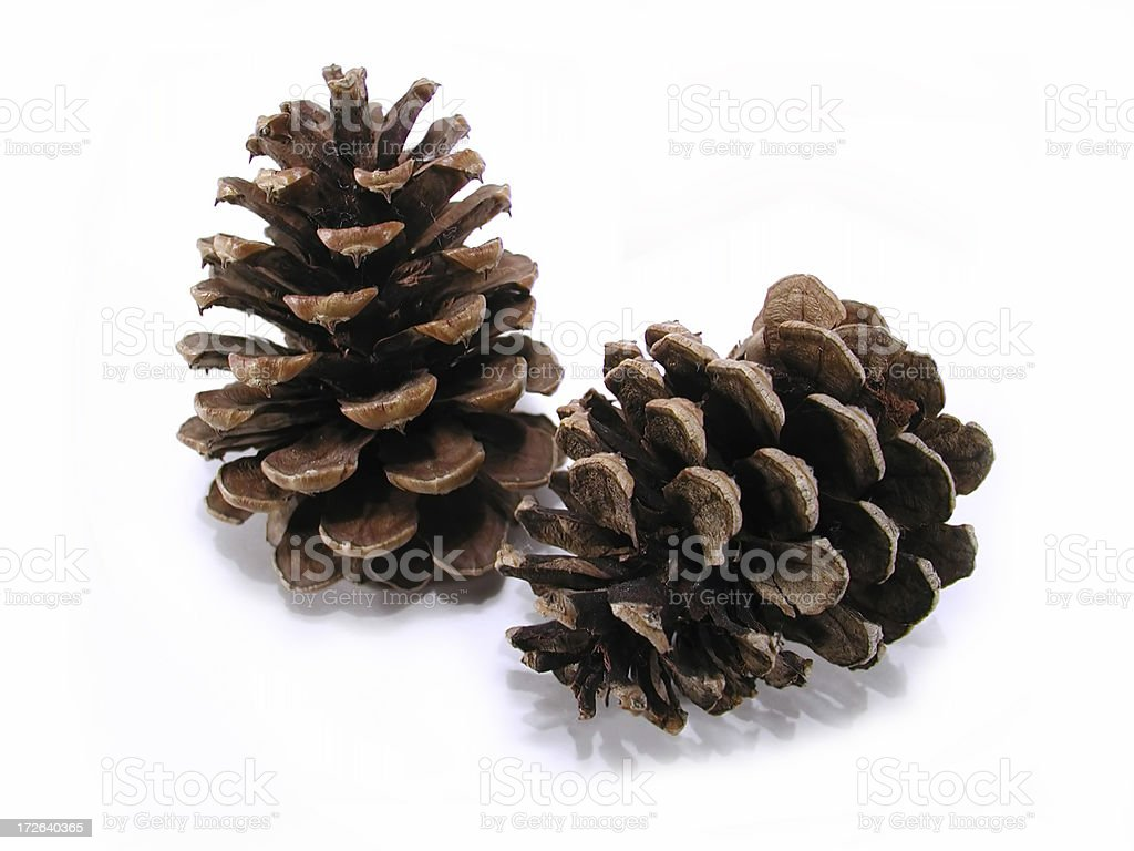 Evergreen Pinecones royalty-free stock photo