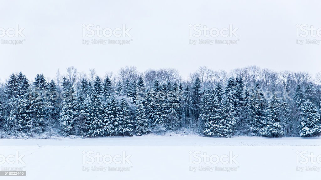 Evergreen Pines in Winter stock photo