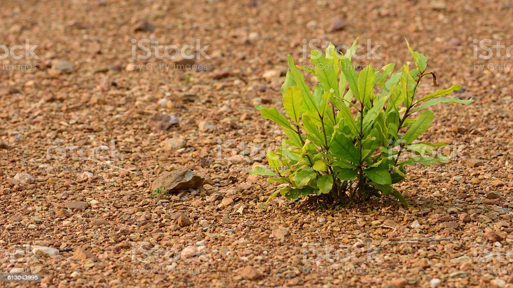 evergreen plant growing in the desert empty background stock photo