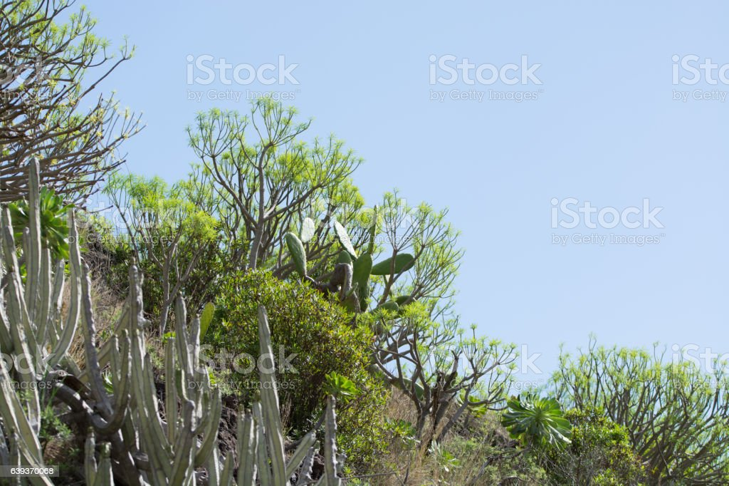 Ever-green plant growing on vulcanic lava field, Tenerife island stock photo