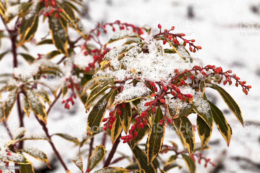 Evergreen plant in winter royalty-free stock photo