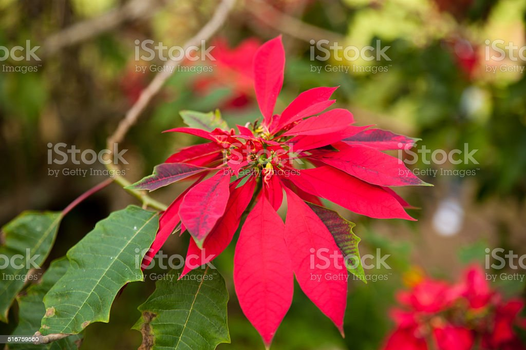 Evergreen shrub of poinsettia flower with red blooms on Cuba. stock photo