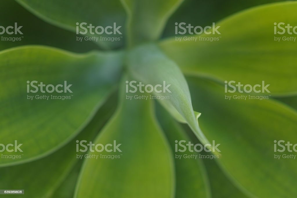 Evergreen succulent plant close up background stock photo