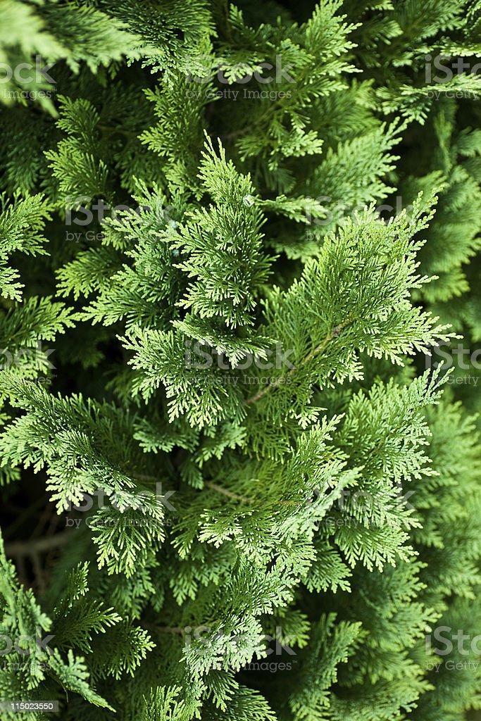 Evergreen tree background royalty-free stock photo