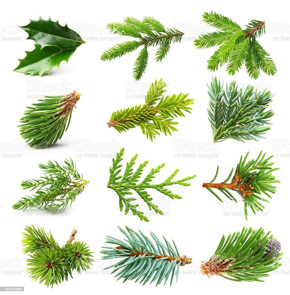 Evergreen tree branch set stock photo