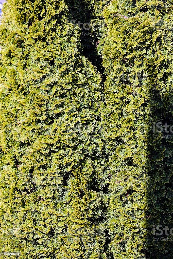 Evergreen tree closeup stock photo