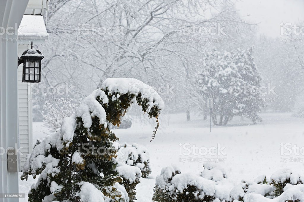 Evergreen Tree Covered With Blizzard Snow stock photo