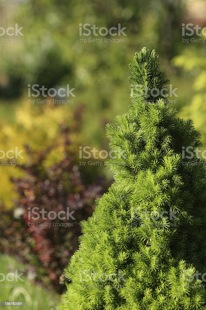 Evergreen tree growing in garden at spring stock photo