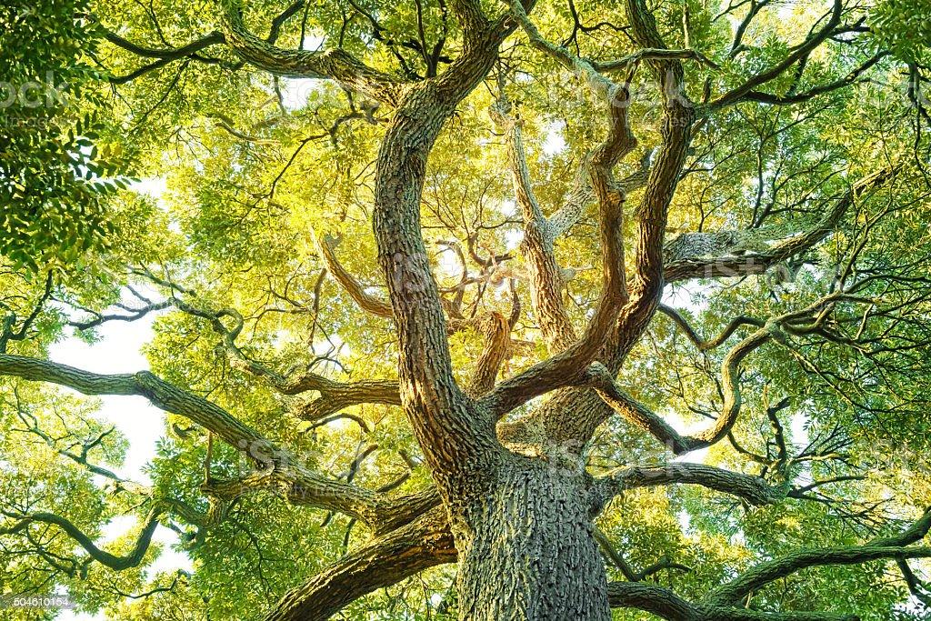 Evergreen tree stock photo