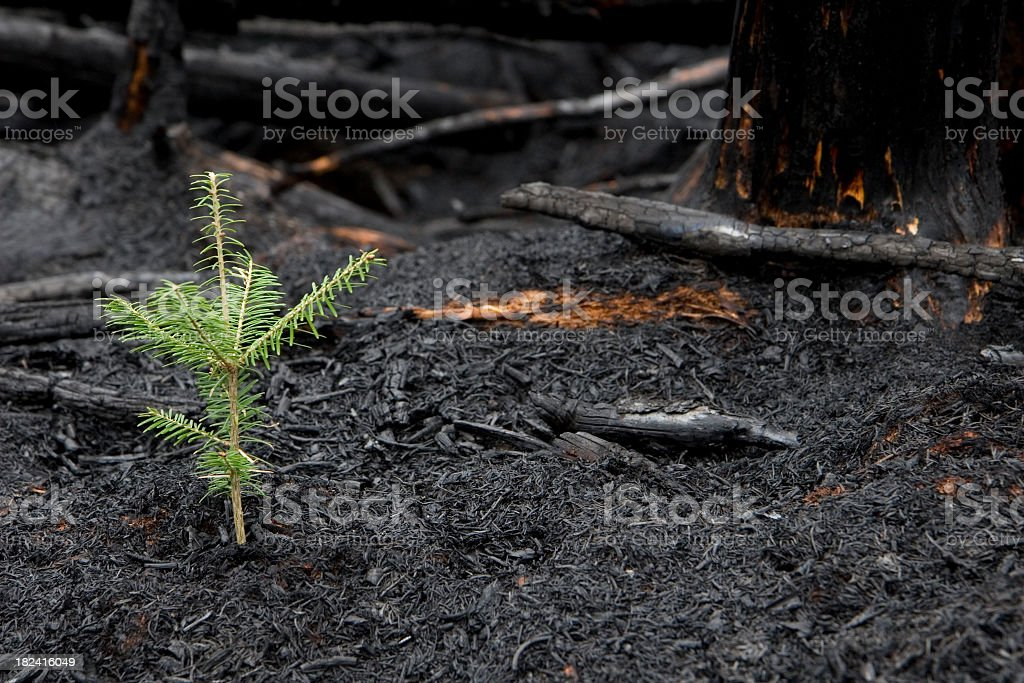 Evergreen tree sprouts in the ashes of a forest fire stock photo