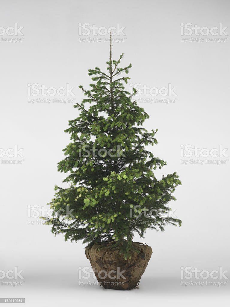 Evergreen tree with root ball stock photo
