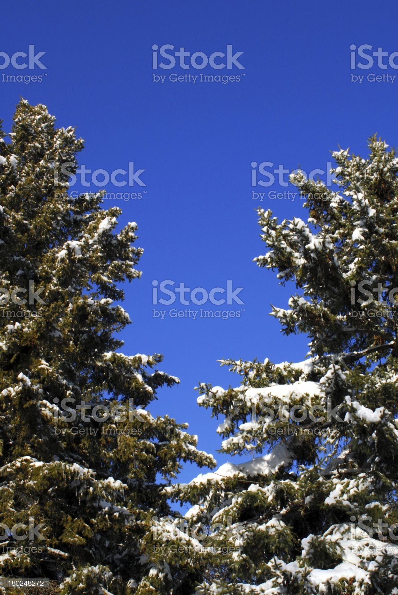 Evergreen trees on blue sky royalty-free stock photo