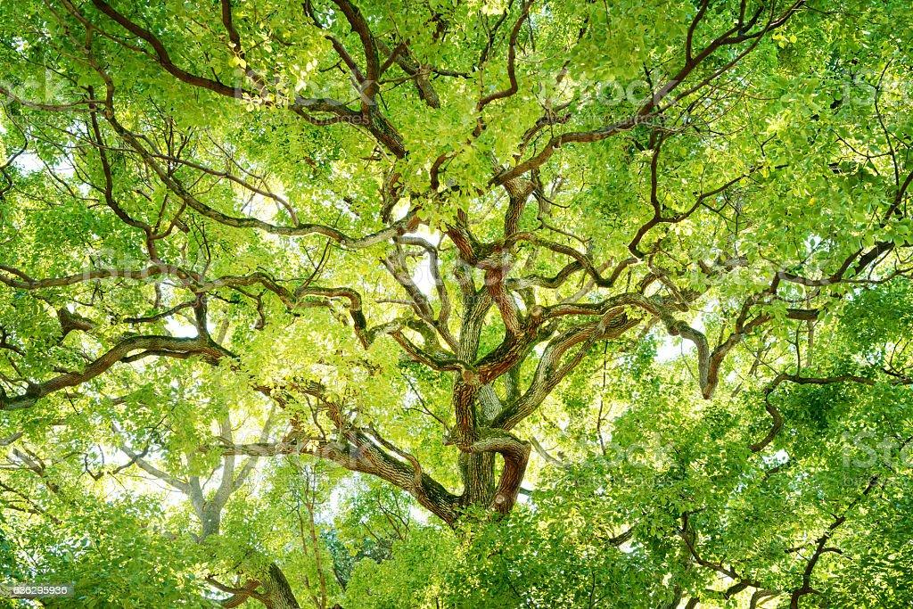 Evergreen trees. stock photo