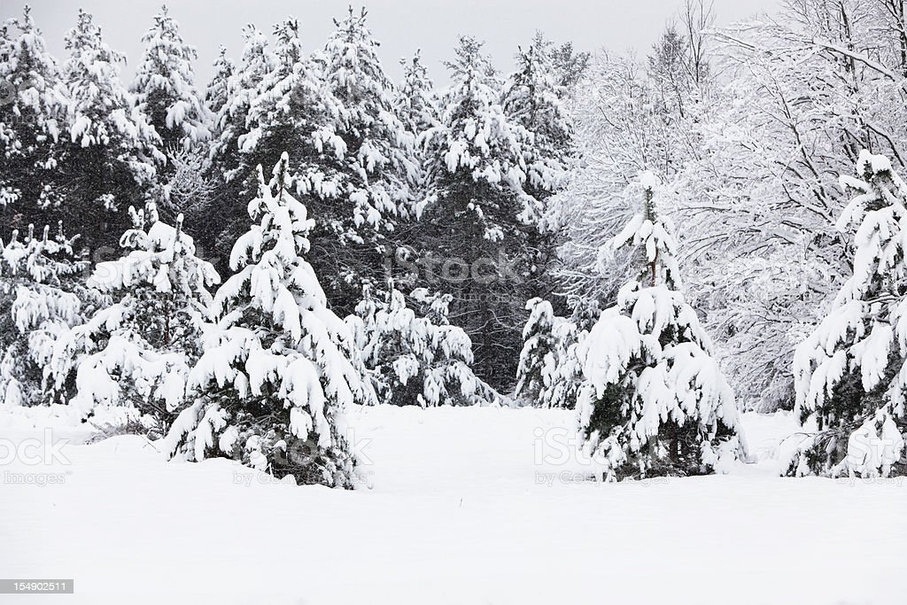 Evergreen Trees Surrounding a Small Clearing in Heavy Blizzard Snow royalty-free stock photo