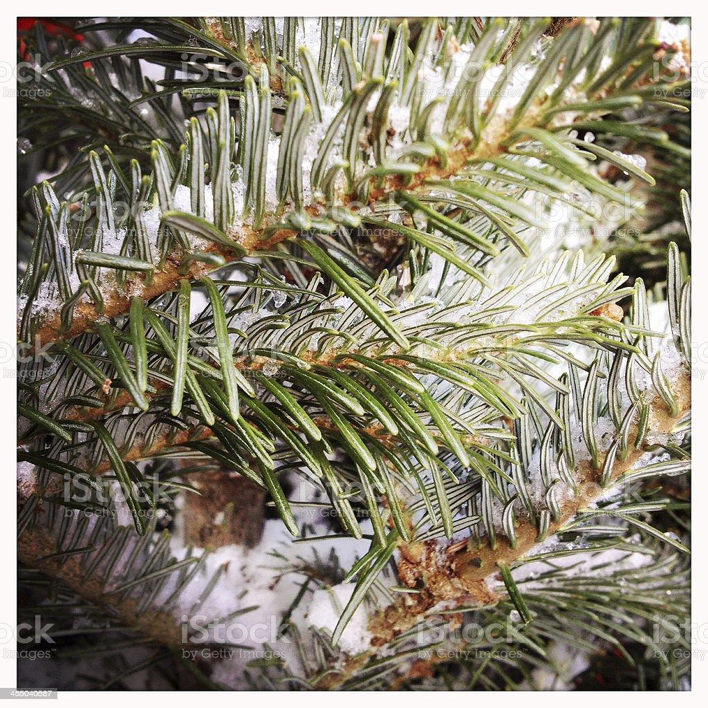 Evergreen with Snow stock photo