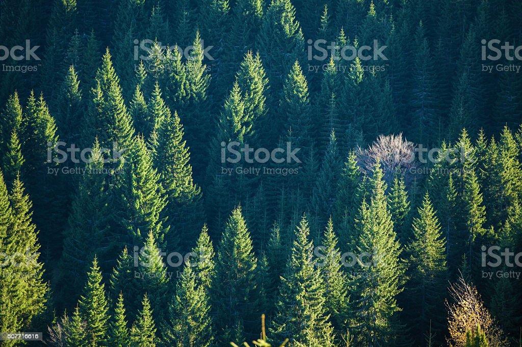 Evergreen wood under sunset sunlight stock photo