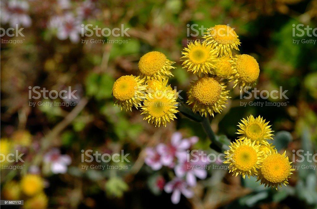 Everlasting daisy royalty-free stock photo