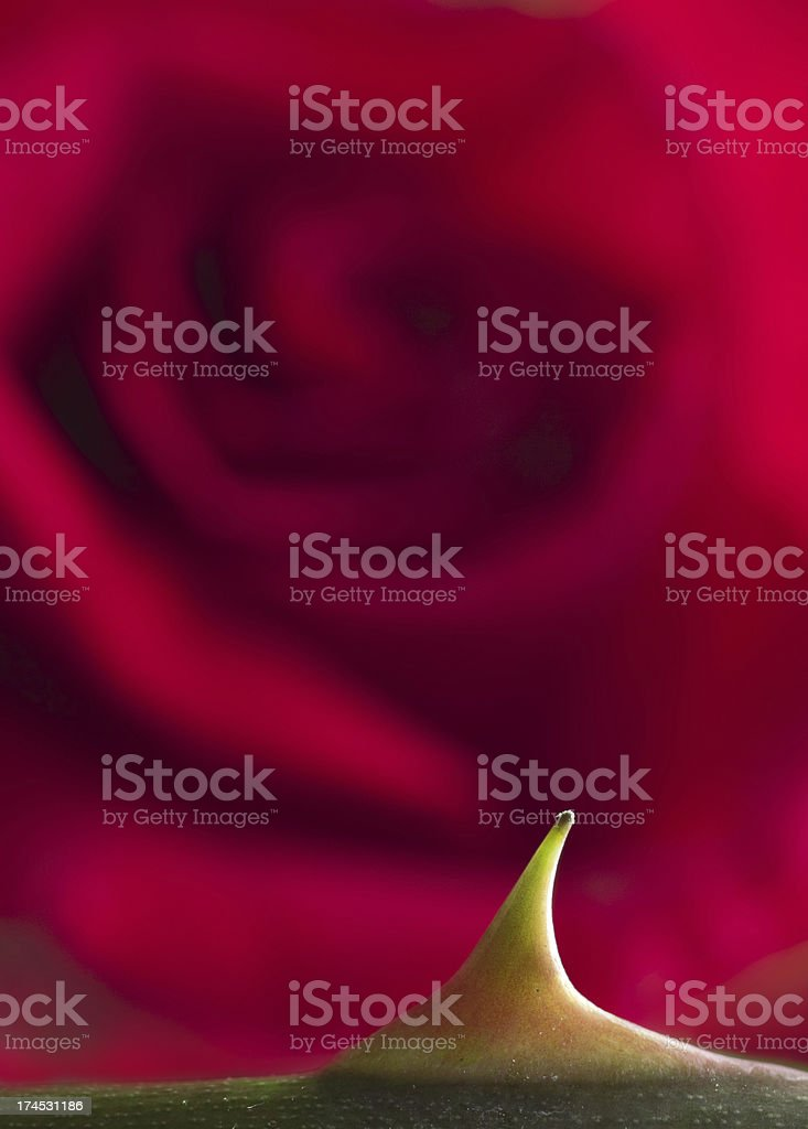 Every rose has its thorn . . . royalty-free stock photo