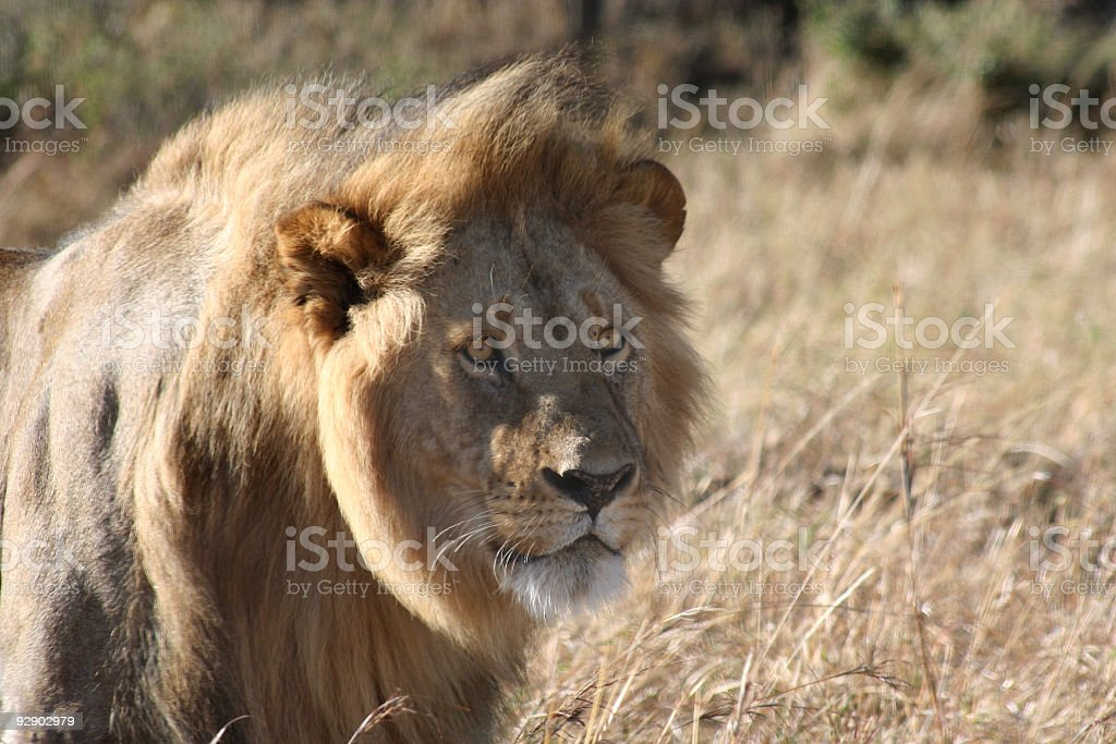 Male Lion Stare royalty-free stock photo