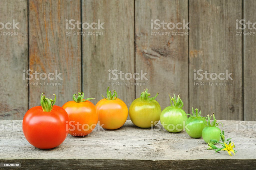 Evolution - red tomato,  maturing process of the fruit stock photo
