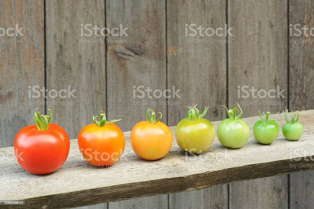 Evolution - red tomato,  maturing process of the vegetable stock photo