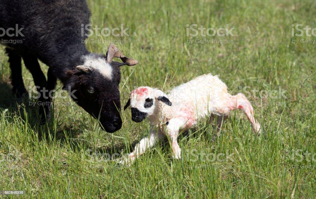 Ewe and her newborn lamb stock photo