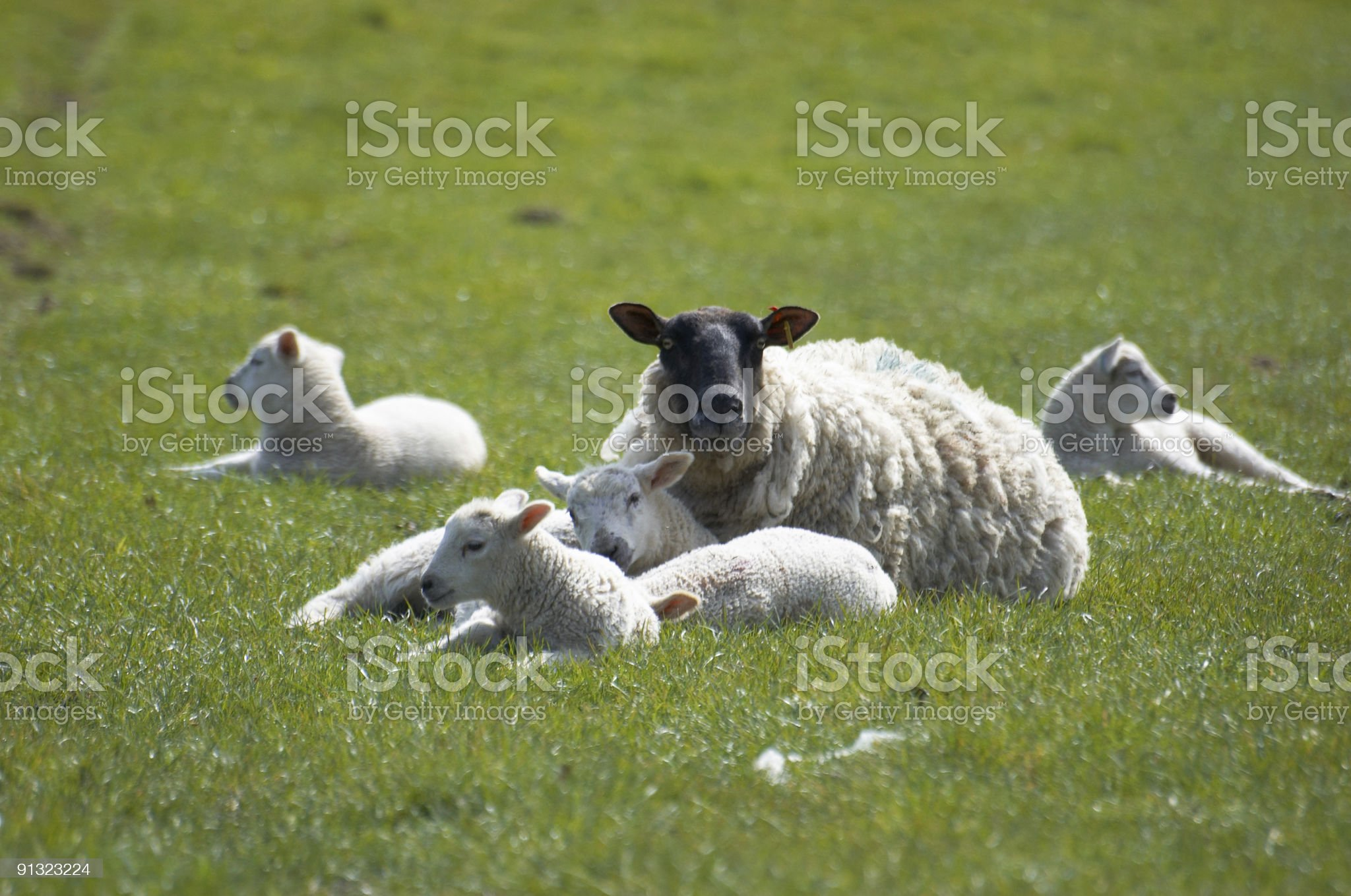 Ewe and Lambs royalty-free stock photo