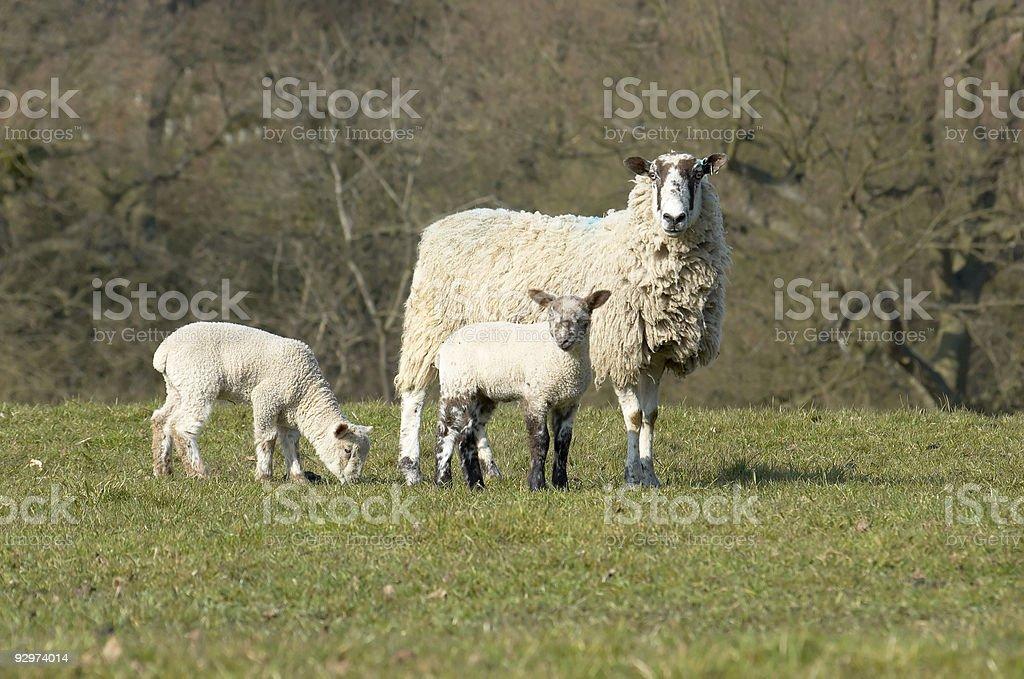 Ewe and Lambs royalty-free stock photo