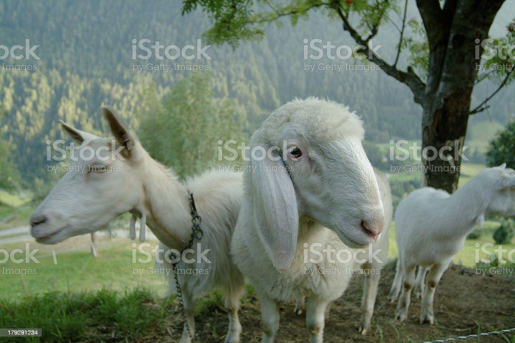 Ewe and sheep stock photo